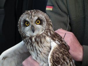 A tagged owl by Colin Shand.