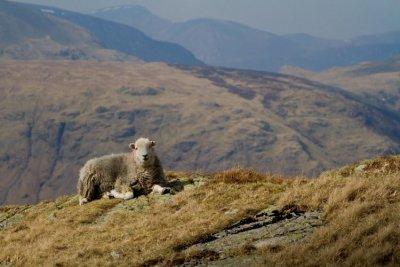 A ewe enjoying the view, by Ben Darvill