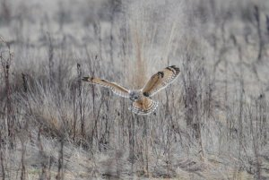 Short-eared Owl hunting. Photograph by Amy Lewis