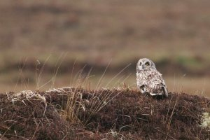 Short-eared Owl in typical moorland habitat. Photo by Jill Pakenham.