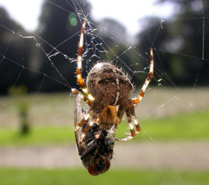 Araneus with fly, by Mike Toms