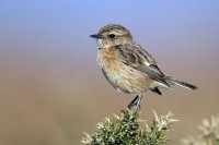 Stonechat by Paul Hillion/BTO