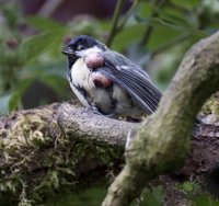 Great Tit with Avian Pox, Dave Wragg/BTO
