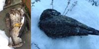 Buzzards found in Scottish gardens