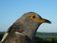 Chris the Cuckoo. Photograph by Phil Atkinson