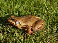 Common Frog by John Harding/BTO