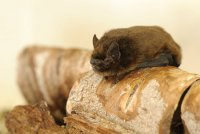 Common Pipistrelle by Amy Lewis/BTO