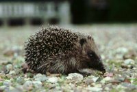 Hedgehog by Mike Toms/BTO