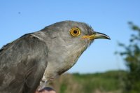 Cuckoo by Phil Atkinson/BTO