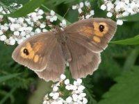 Meadow Brown by Dawn Balmer/BTO