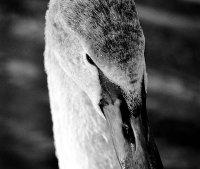 Mute Swan by Cameron Bespolka