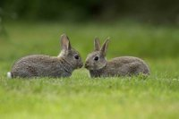 Rabbits by John Harding/BTO
