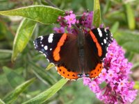 Red Admiral by Mike Toms/BTO