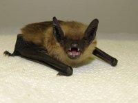 Serotine Bat by Charlotte Packman