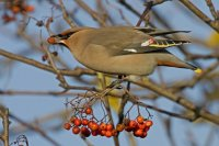 Waxwing by Kate Risely/BTO
