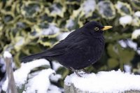 Blackbird by John Harding/BTO