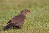 Blackbird by Liz Cutting/BTO