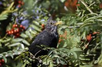 Blackbird by John Harding/BTO