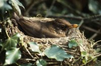 Blackbird in nest by John Bowers/BTO