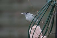 Blackcap by Mark R Taylor