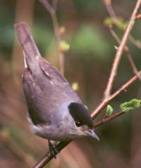 Blackcap by Tommy Holden/BTO