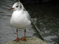 Black-headed Gull by John Harding/BTO