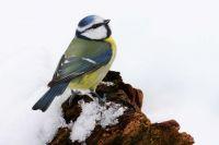 Blue Tit in snow by Jill Pakenham