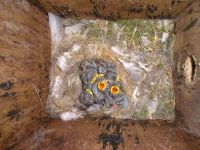 BlueTits in nestbox by Simon Thurgood