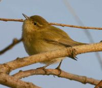Chiffchaff by www.grayimages.co.uk