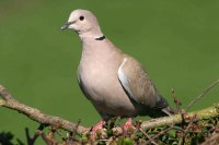 Collared Dove by John Harding/BTO