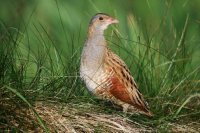 Corncrake by Edmund Fellowes/BTO