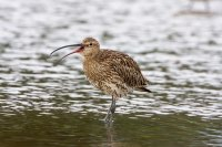 Curlew by John Harding/BTO