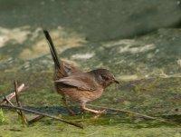 Dartford Warbler by Jill Pakenham/BTO
