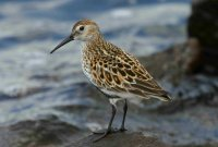 Dunlin by www.grayimages.co.uk/BTO