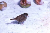 Dunnock by Richard Vaughan