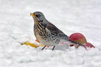 Fieldfare by Jill Pakenham