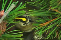 Goldcrest by Rob Robinson/BTO