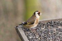 Goldfinch by John Harding/BTO