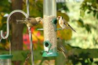 Greenfinch and Goldfinch on feeder - Josie Latus