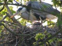 Grey Heron by Simon Gillings/BTO