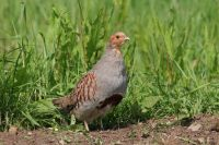 Grey Partridge by Jill Pakenham