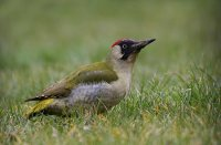 Green Woodpecker by Jill Pakenham/BTO