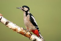 Great Spotted Woodpecker by John Harding/BTO