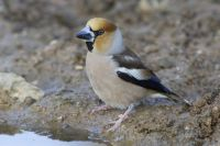 Hawfinch by Edmund Fellowes