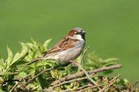 House Sparrow by John Harding