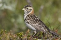 Lapland Bunting by Edmund Fellowes