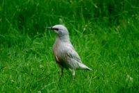 Leucistic Starling by Paul Pierce