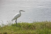 Little Egret by John Harding