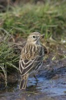 Meadow Pipit by Jill Pakenham/BTO