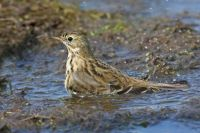 Meadow Pipit by Jill Pakenham